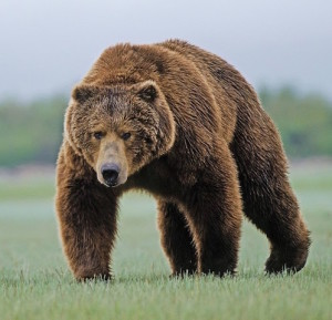 A male Kodiak bear has been known to weigh 800kg